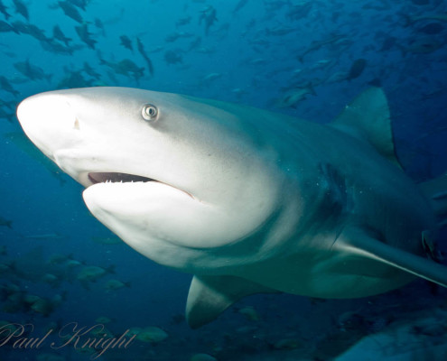 Best Shark Diving Hungry Bull Shark