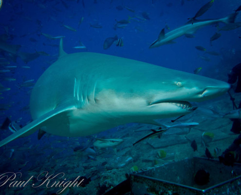 Fiji Shark Dive Close Encounter