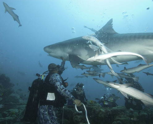 Best Fiji Shark Dive Tiger Shark Feeding