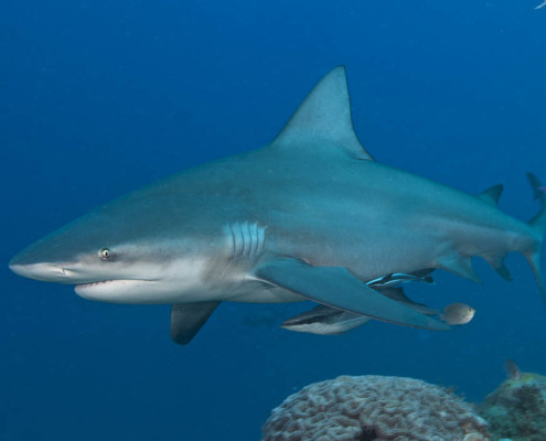 Fiji Shark Dive Small Bull Shark