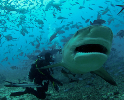 Fiji Shark Dive Tiger Feeding