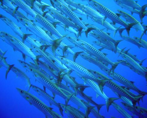 Scuba Dive Fiji Barrcudas
