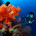Scuba Diving Fiji Beqa Soft Coral