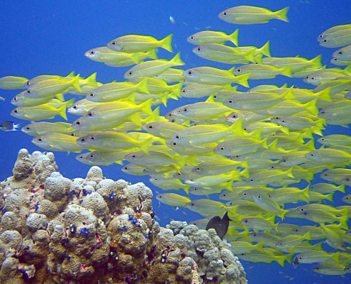 Scuba Diving Fiji Schools of Fish