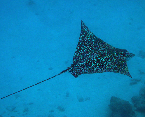 Scuba Fiji Eagle Ray Swimming By