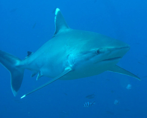 Scuba Fiji Shark Diving Beautiful Silvertip